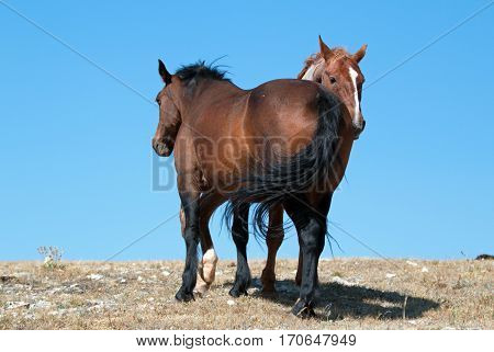 Windblown Red Roan Band Stallion with his Bay Mare on Sykes Ridge in the Pryor Mountains in Montana - Wyoming USA
