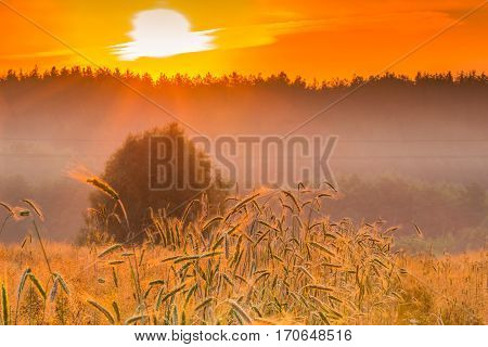 Spikelets of wheat and sunrise in the field.