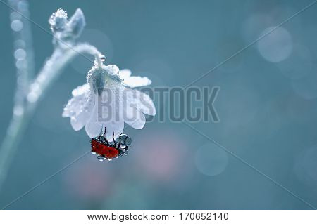 A little red ladybug hanging under a white flower and collecting drops of dew