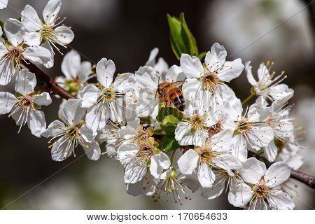 Bee collects pollen from white flowers on  flowering tree branch in spring.