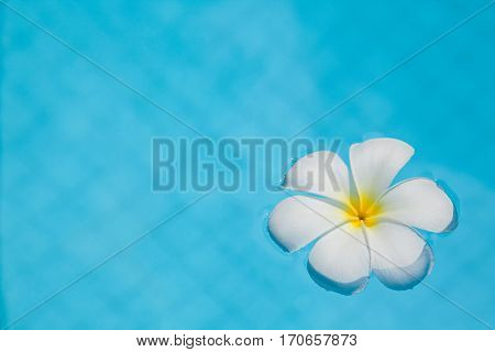 Frangipani flower in the swimming pool blue