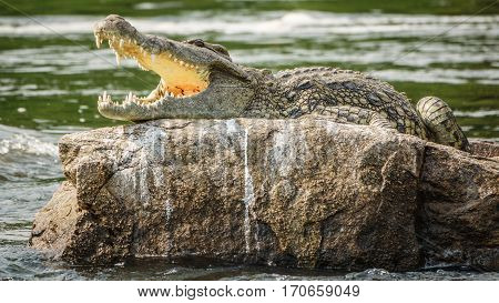 Closeup view of crocodile over rock with open mouth with sharp teeth in Nile river, Uganda