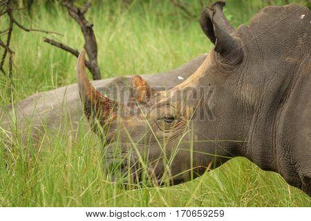 Closeup of white rhino head with horn in Uganda