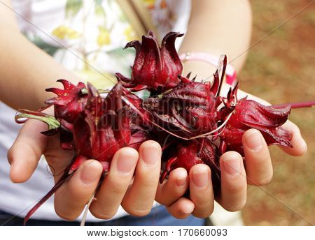 Hands Holding Fresh Roselle Flowers Close up