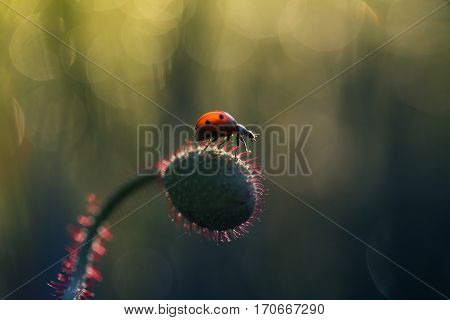 Small red ladybug getting ready to fly