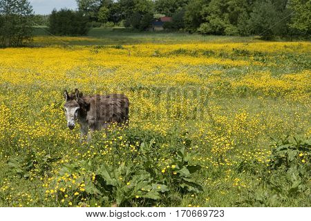 Donkey in a field with buttercups an a forest in the background