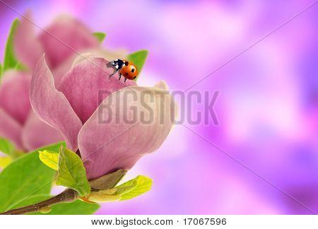 Ladybug on magnolia blossom poster