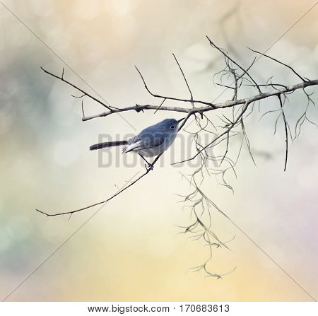 Blue-gray Gnatcatcher perched on a branch