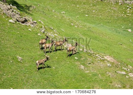 The family of marals fleeing from a photographer, Siberian stag