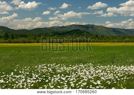 The field of daisies on a Sunny day blue sky background