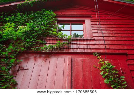 A climbing hydrangea growing up the side of a red barn.