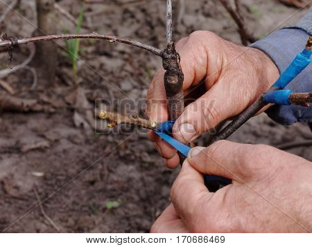 Grafting scion on a rootstock