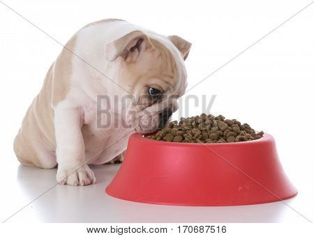 bulldog sitting beside a full bowl of kibble on white background