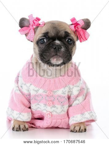 female french bulldog puppy wearing pink sweater on white background