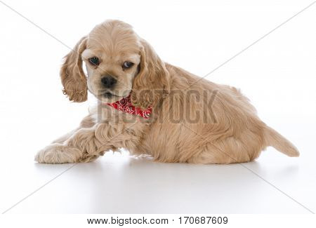cocker spaniel puppy wearing red bandanna on white background