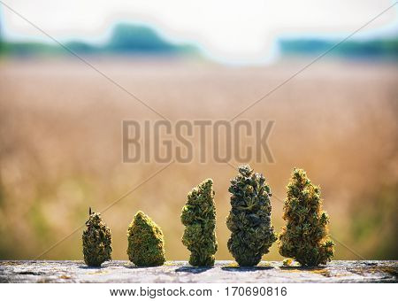 Detail of assorted dried cannabis buds in a line over natural landscape - medical marijuana concept background