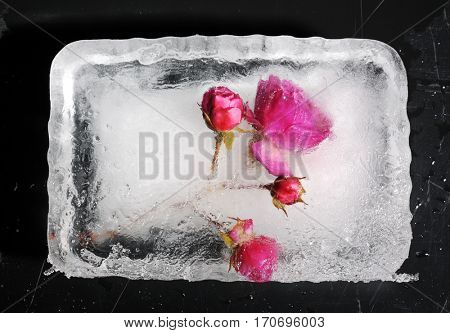 beautiful frozen rose
