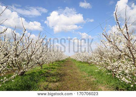Flowering Plum Garden