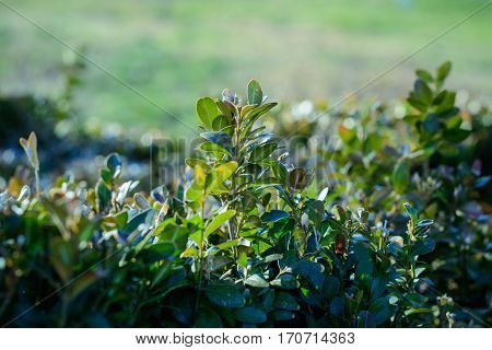 green bush on a background of bushes and greenery