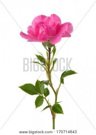 Small pink rose isolated on white.