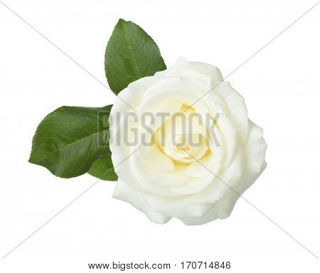 White rose  with leaves isolated on white background.