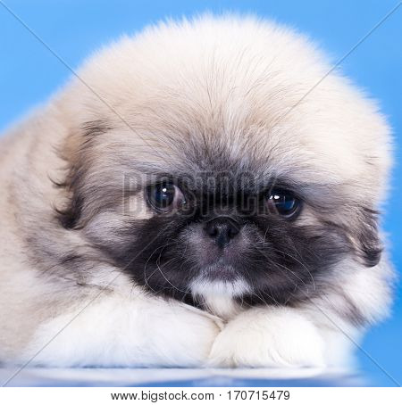 pekingese puppy close-up portrait