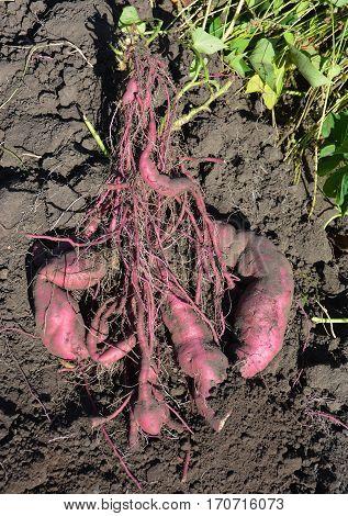 Sweet potatoes roots. Sweet potatoes organic harvesting