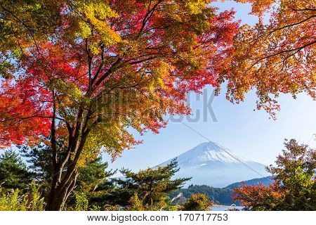Mount Fuji and maple tree in lake kawaguchiko
