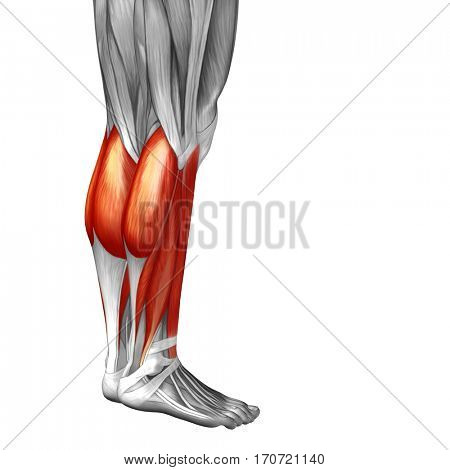 Concept conceptual 3D illustration human lower leg anatomy anatomical and muscle isolated on white background metaphor to body, tendon, spine, fit, abs, strong biological, gym, fitness, health medical