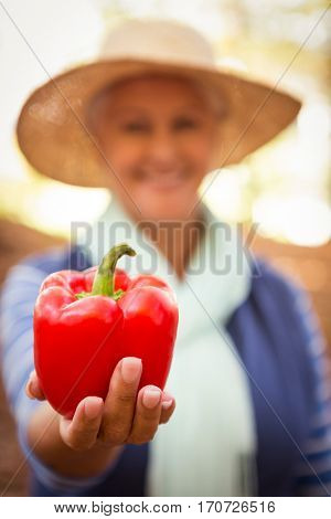 Close-up of mature female gardener holding red bell pepper at garden
