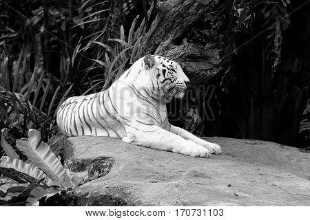 Albino Bengal tiger lying down sleepy black white
