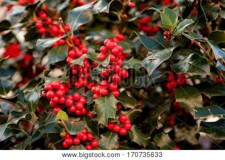 Full branch with red berries in a beautiful holly