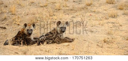 Two young hyenas resting in the heat of the day in Kruger National Park in South Africa