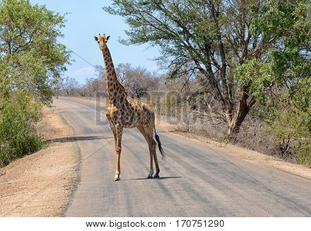 Giraffe in South Africa's Kruger National Park walking across a road