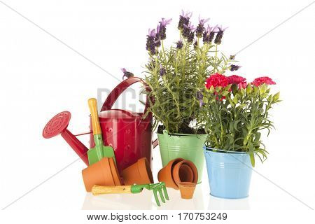 Lavender stoechas and Dianthus in blue flower pot isolated over white background