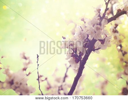 Pastel tones. Flowers of the cherry blossoms on a spring day
