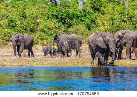 Watering in the Okavango Delta. Chobe National Park in Botswana. Herd of African elephants crossing river in shallow water. The concept of active and exotic tourism