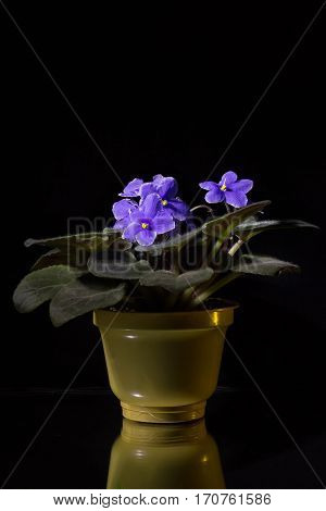 beauty blue flowers isolated on black background with reflection