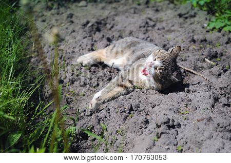 Stripped Cat Lying On The Ground Among Green Grass