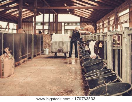 Calves in the cowshed in dairy farm