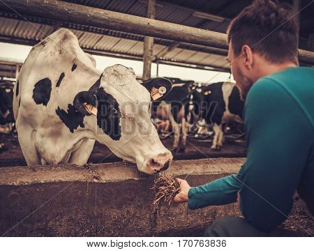 Young farmer feeding cow in the cowshed in dairy farm