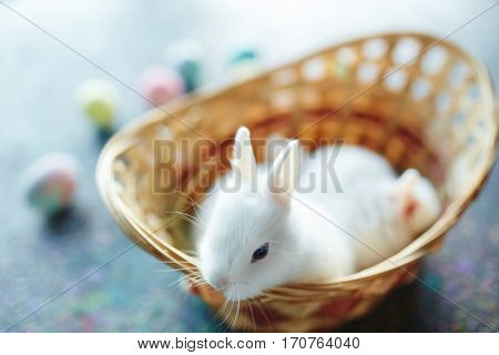 Small white rabbit looking out of basket