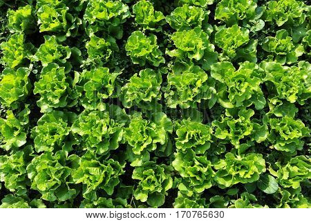 leaves of a loose leaf lettuce. Hydroponic agriculture concept.