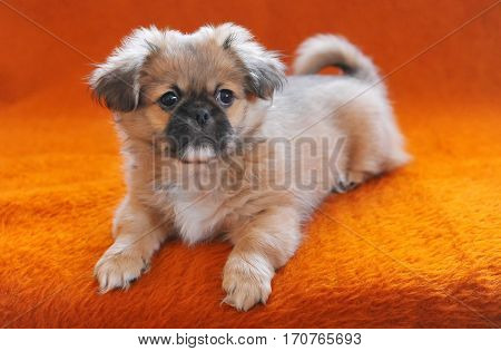 Pekingese puppies sitting couch sofa settee chaise on pink background