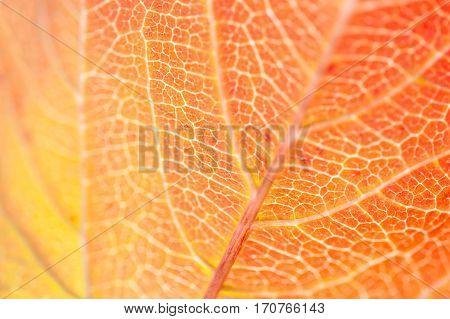 Macro Image Of Red Autumn Leaf.