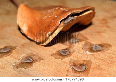 Jacaranda Seeds