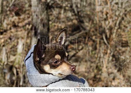 Portrait of domestic dog in wintertime, Pancharevo, Bulgaria