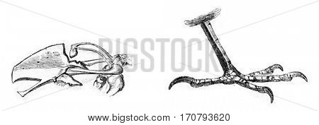 Bone and sternum leg of Dunnock, vintage engraved illustration. Magasin Pittoresque 1852.