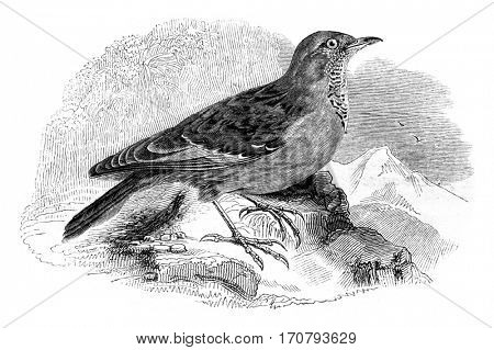Accentor Alps, Alpine Accentor, vintage engraved illustration. Magasin Pittoresque 1852.