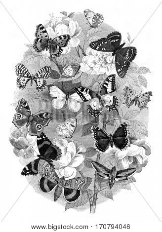 Choice of butterflies, vintage engraved illustration. Magasin Pittoresque 1846.